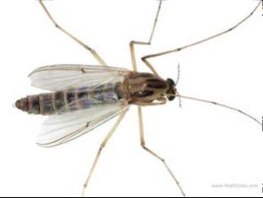 Flies, midges and mosquitoes