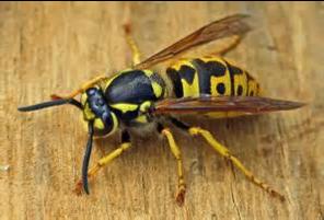 Wasp Pest Control Bradford