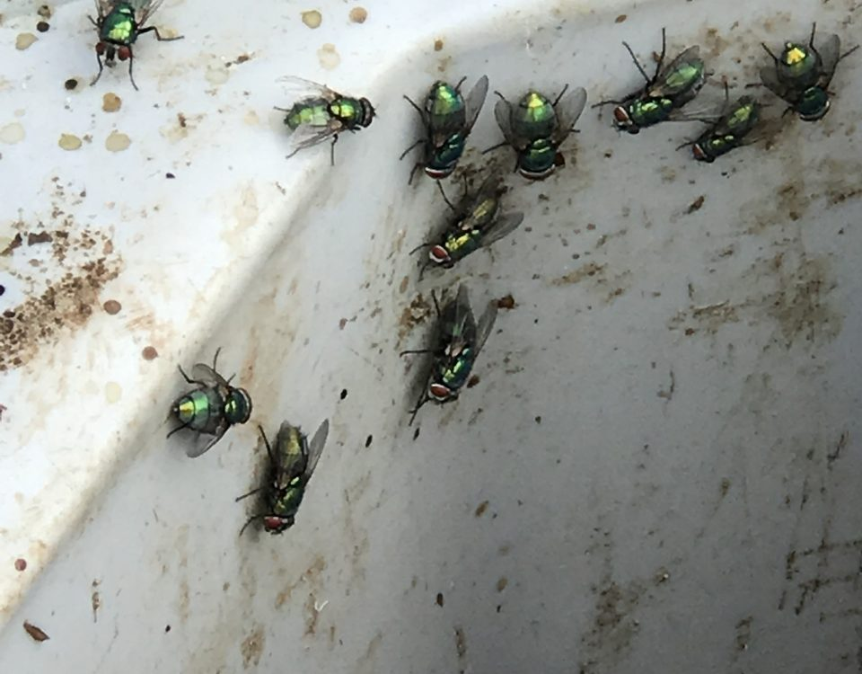 Pests Flies found in Yorkshire meat factory